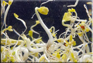 link to beansprouts-ecoli video
